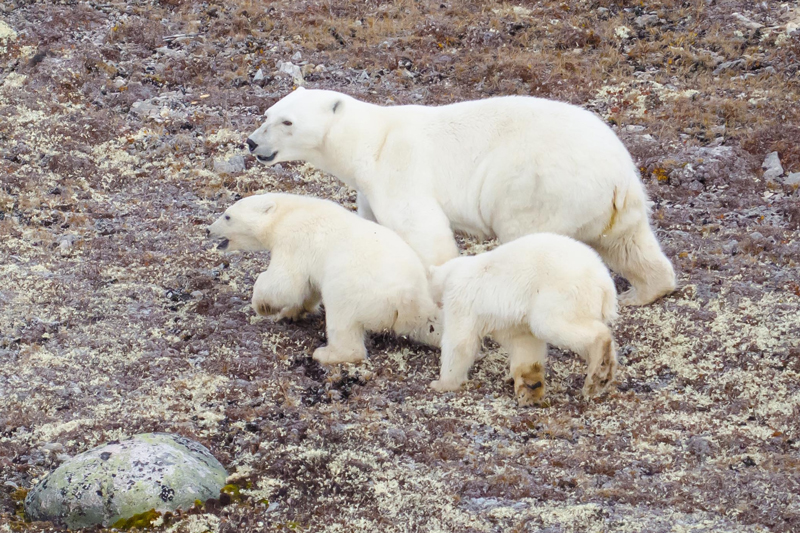 Polar bear mother and cubs Hale 2012 2